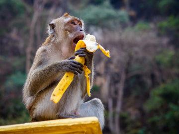 Prečo sa nechať opiť banánmi a mať z nich opicu?